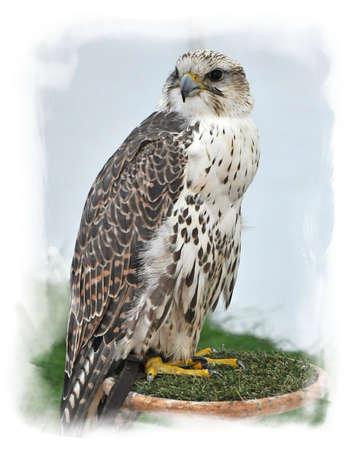 prowler: Bird of Prey  Hawk  demonstration in the park