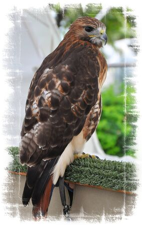 prowler: Bird of Prey,Hawk portrait.