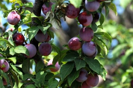 plum tree, close up