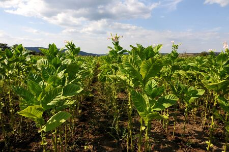 tobacco plants: Green tobacco plants on a field Stock Photo
