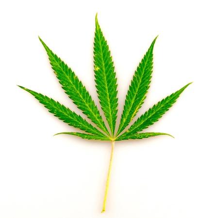 leaf of hemp, on a white background Stock Photo - 14891854