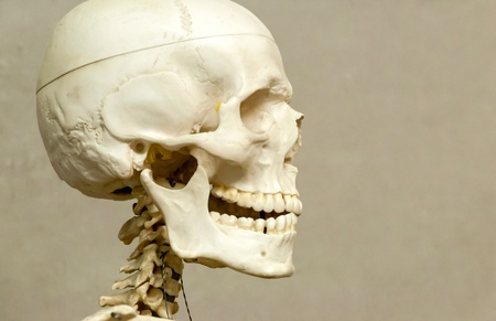 human bones: Decorative (model) human skeleton and skull in hospital