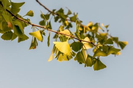 oxidative: Ginkgo biloba leaves, close up.