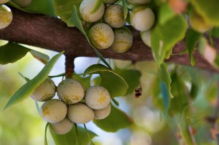 Ginkgo biloba leaves, close up.