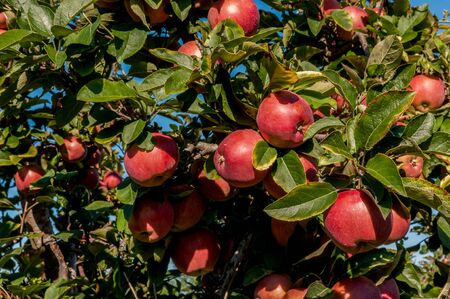 Apple orchard with apples before picking Stock Photo