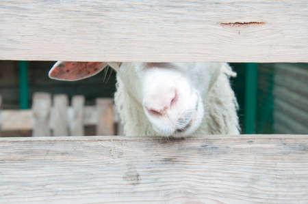 funny sheep peeking over the fence