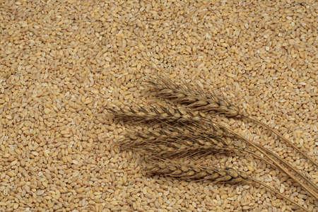 pearl barley: Wheat Ears on the pearl barley background