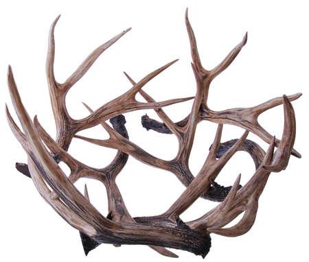 elk: elk horns isolated on a white background. Elk antlers.