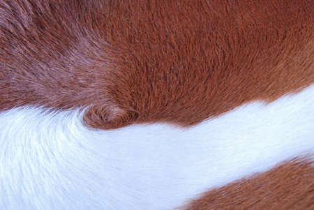 cow skin: Brown and white cowhide. Fragment of a cow skin Stock Photo
