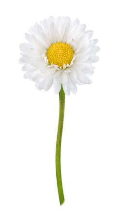 Daisy flower isolated on white background cutout