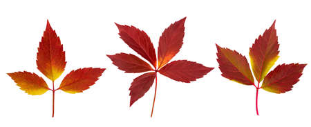 Set of Autumn Parthenocissus leaves isolated on a white Stock Photo