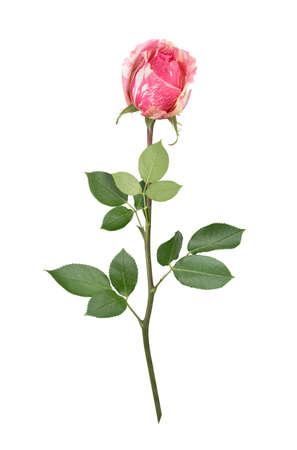 Bicolored rose with stem in full depth of field.