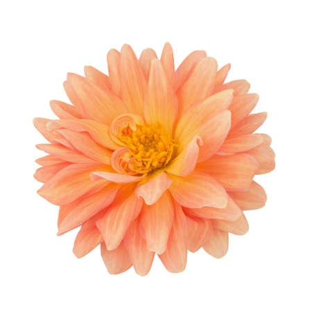 path to romance: Orange dahlia isolated on a white. Full depth of field. Stock Photo