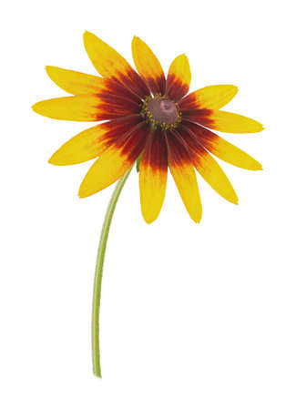 coneflowers: Rudbeckia isolated on a white. Full depth of field. Stock Photo