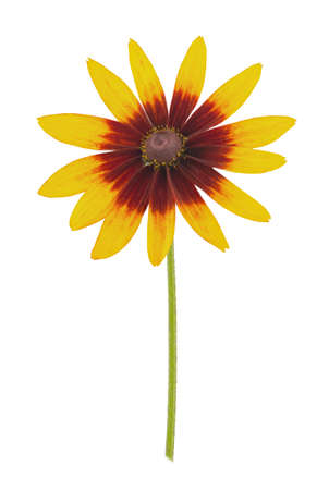 Rudbeckia isolated on a white. Full depth of field. Stock Photo