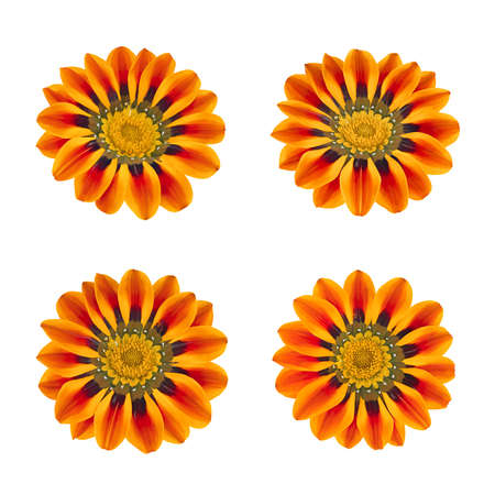 Set of gazania flowers isolated. As design elements.