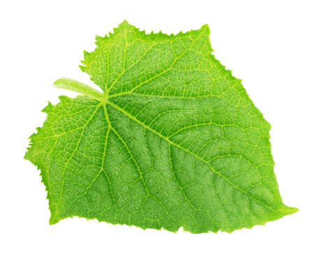Cucumber leaf isolated on a white. Detailed retouch.