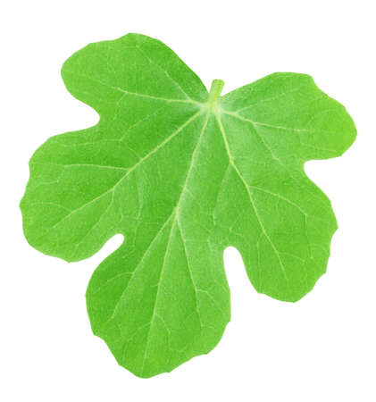 Melon leaf isolated on white background. Detailed retouch. Stock Photo