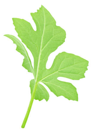 Watermelon leaf isolated on white background. Detailed retouch. Stock Photo - 128831394