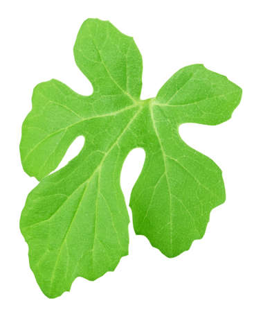 Melon leaf isolated on white background. Detailed retouch. Stock Photo - 128831473