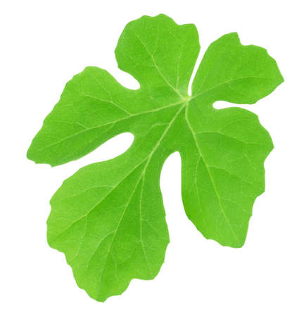 Watermelon leaf isolated on white background. Detailed retouch.