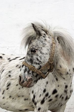 Rare colored, spotted as dalmatian dog pony Stock Photo