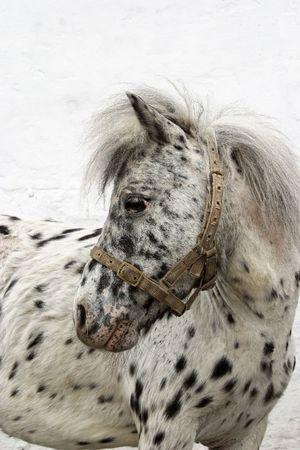 a rare: Rare colored, spotted as dalmatian dog pony Stock Photo