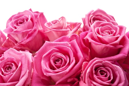 Pink roses on white background, may be positioned on bottom of page