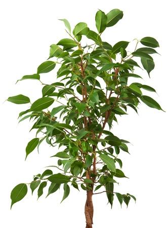 feuille de vigne: Ficus isolé sur fond blanc Banque d'images