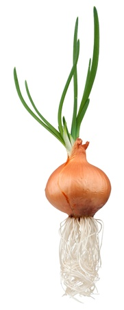 bulb and stem vegetables: Sprouting onions - isolated on white background