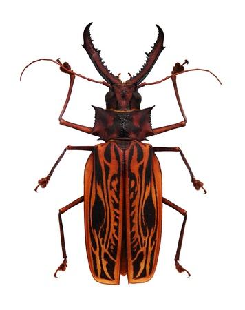 escarabajo: Gran escarabajo cornudo naranja y negro aislado en blanco