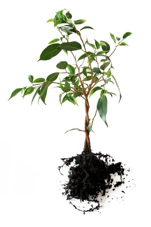 Plant with roots isolated