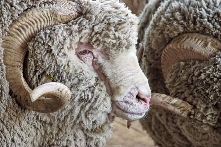 merino sheep: Rams