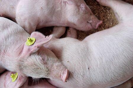 piglets: Sleeping piglets