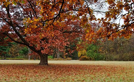 falling leaves: Lonely tree in autumnal park