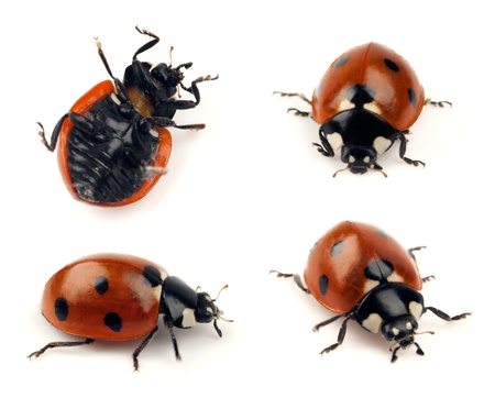 critter: Set of isolated lady bug shots