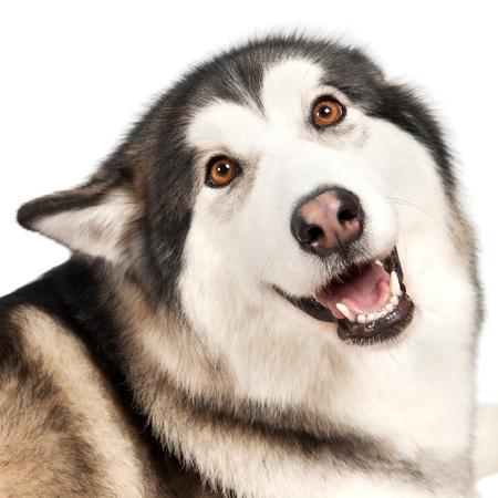 Alaska Malamute dog isolated on white