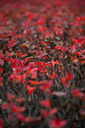 hedgerow: Autumnal red leaves on the hedge