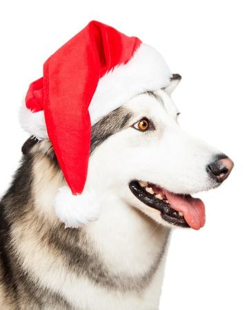 Dog with Santa hat isolated on white Stock Photo