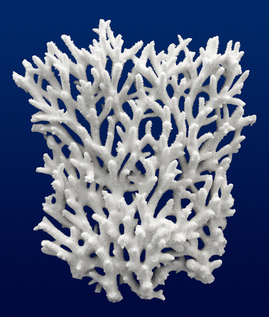 hard coral: Acropora coral