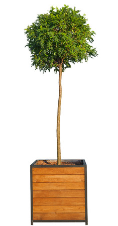 Tree in pot isolated on white Banque d'images