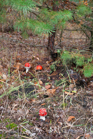 Fly agaric poisonous mushroom