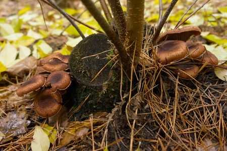 Edible agaric mushrooms in forest at autumn