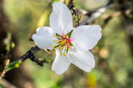 Flower of almond tree