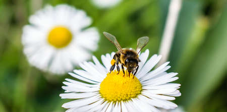 A bee absorbs nectar from chamomile's flower and putting it on her legs,in spring season