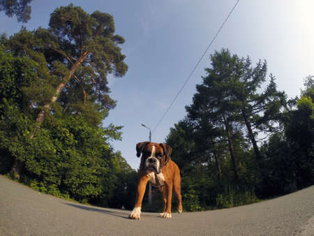 labrador teeth: The dog looks into the camera, boxer.