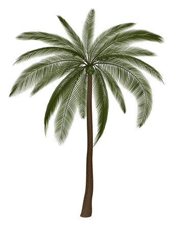 tree isolated: Palm tree isolated on white, vector illustration.