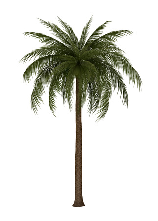 subtropical: Palm tree isolated on white, vector illustration.