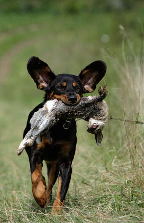 close-up of a hound with a rabbit in its snout