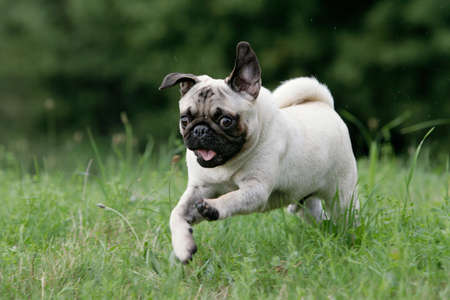 close-up of a wild running young blond pug